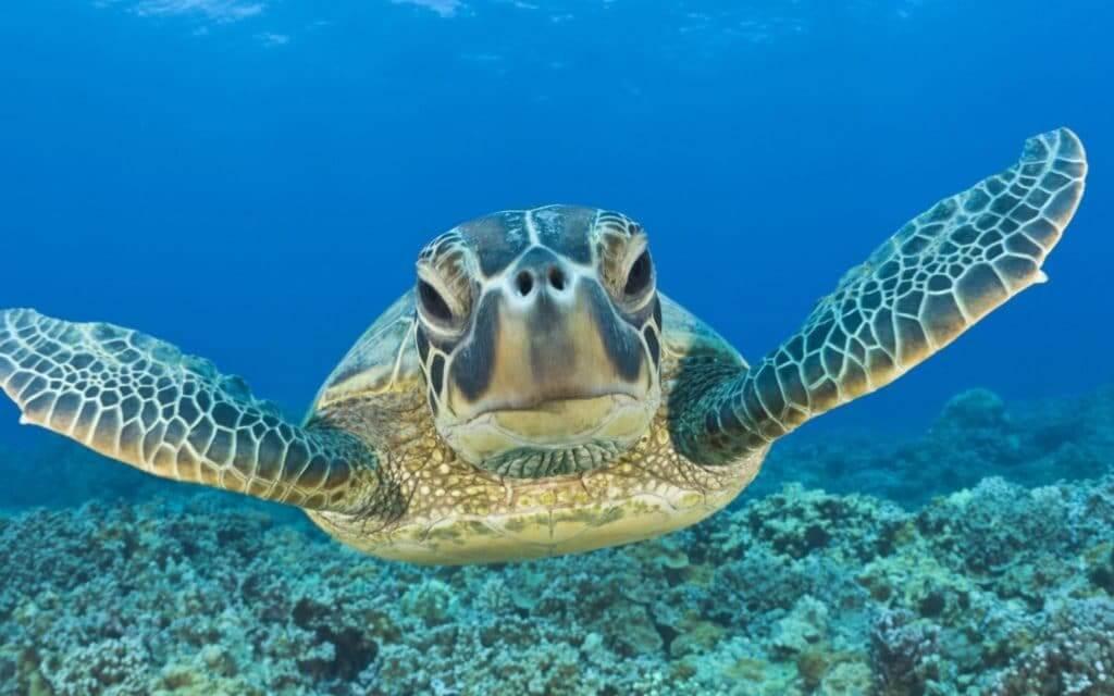 Tartaruga em Playa Akumal em Cancún