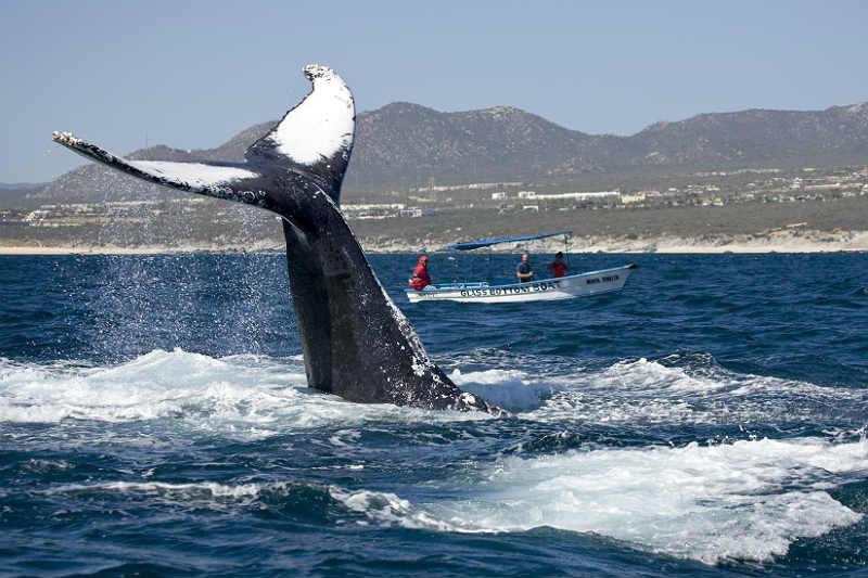 Baleia saltando em Los Cabos