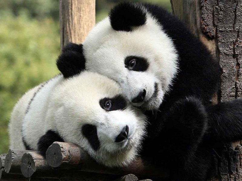 Pandas no Zoológico de Chapultepec na Cidade do México